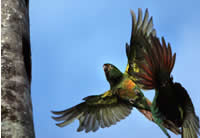 Two Golden Plumed Parakeets in flight. Click to see a larger version.