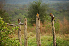 Field Flickers (Colaptes campestris)
