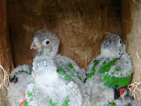 White-breasted Parakeet chicks in artificial nest box