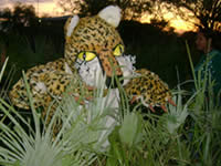 The Pride jaguar in the Paraguayan forest
