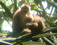 White fronted capuchins