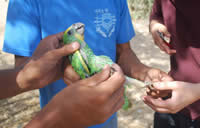 Yellow-shouldered Parrot ringing