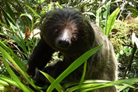Linné's Two-toed Sloth (Choloepus didactylus)