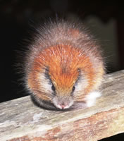 Red-crested Tree Rat