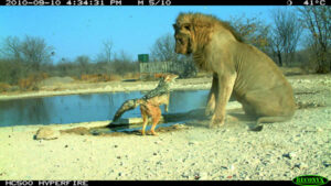Winning photograph in Camera-trap Photo of the Year competition 2011
