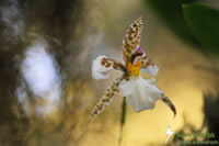 An endangered species of orchid