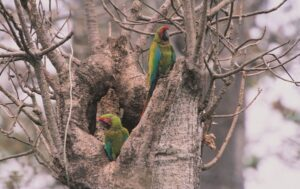Great Green Macaws