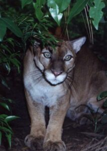 Pumas are protected in the new reserve