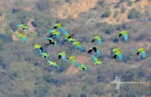 Military Macaws flying over forests in Mexico