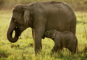 Asian elephant and baby in Corbett National Park