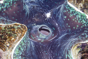 Giant Clam in Danjugan Marine Reserve by Toby Gibson