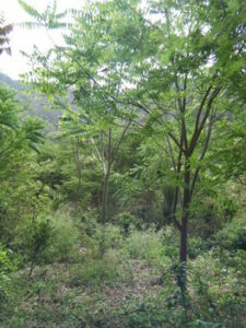 Photograph of three year old saplings in Jorupe Reserve