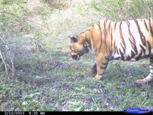Camera-trap picture of healthy, adult male tiger in Kottapady in March 2013