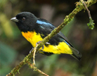 Photograph of Black-and-gold Tanager (Bangsia melanochlamys)