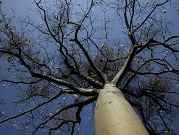 Photograph of a Ceiba tree in Laipuna reserve