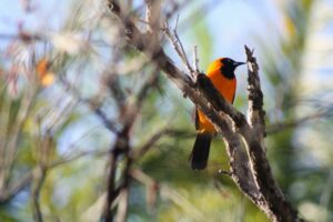Photograph of an Orange-backed Troupial by Steven Mcgee-Callender