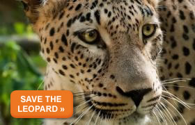 Donate to Save the Caucasian Leopard