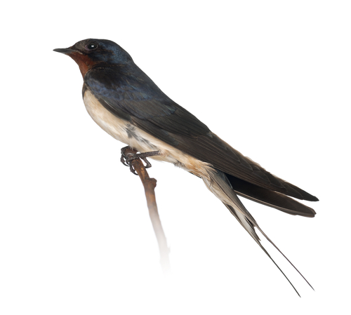 Photograph of a swallow by Eric Isselee / Shutterstock