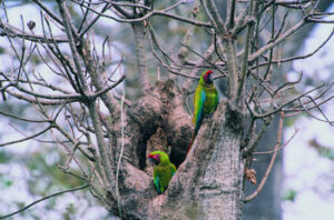 Two Great Green Macaws in a tree at Cerro Blanco