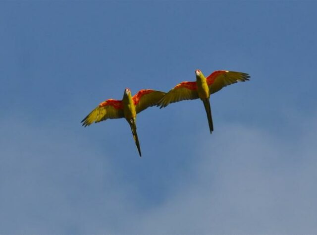 Photograph of two Red-fronted Macaws flying overhead