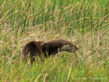 Neotropical Otter moving through grass.