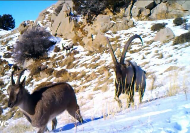 Video still of two Bezoar Goats, one with long horns, on a snowy hillside.