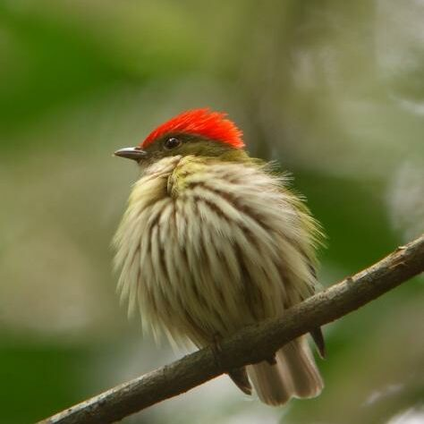 A bird with feathers fluffed up and a red head.