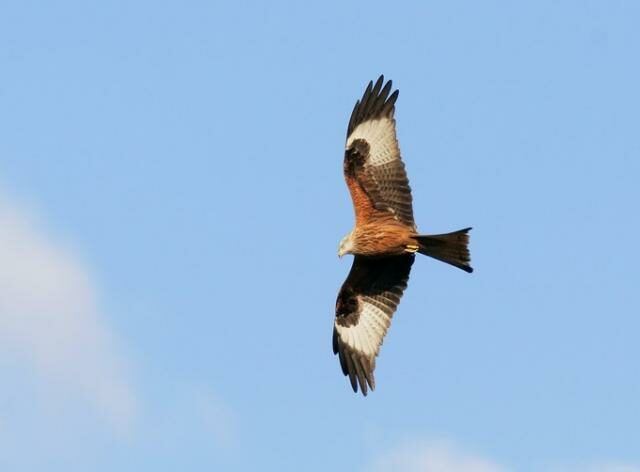 British Red Kite soaring in the sky looking for prey