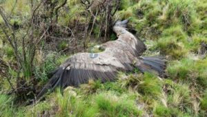 A photograph of Felipe's body with wings outstretched.