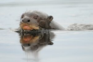 Giant Otter with head above water.