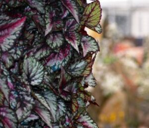 Close up of begonias in Enterprise Plants' green wall.