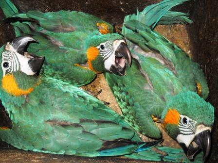 Three Blue-throated Macaw chicks in a nest box.