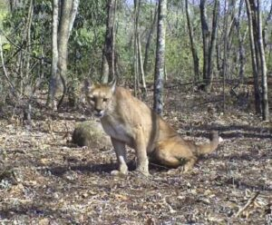 Trail camera image of a Puma in day time.