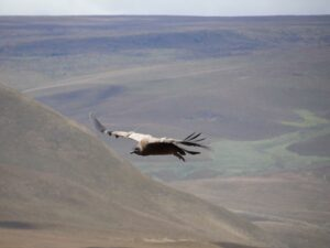 A juvenile Andean Condor in flight, wearing a satellite transmitter.