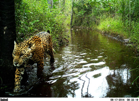 Trail camera image of a Jaguar in the Chaco-Pantanal.