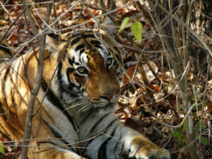 Bengal Tiger in undergrowth.