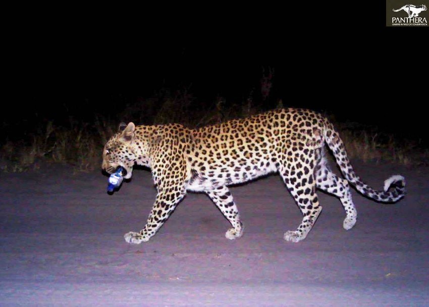 Leopard with a water bottle