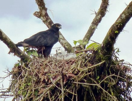 Black-and-chestnut Eagle and chick.