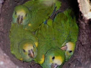 Yellow-shouldered parrot chicks.
