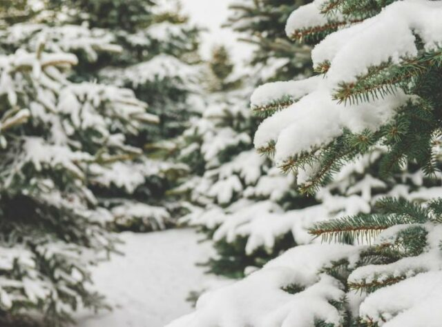 Fir branches covered in snow.