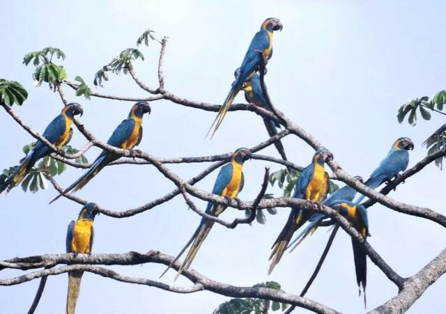 Blue-throated Macaws.
