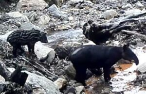Mother and baby Mountain Tapir cross a rocky stream bed (still from a trail camera video).
