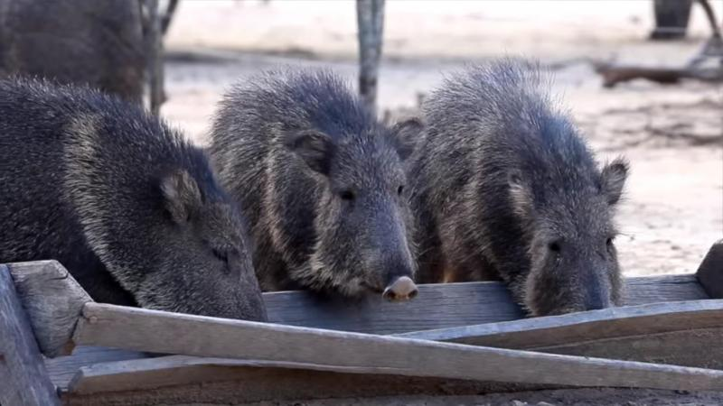 Chacoan Peccary feed from a trouch in captivity.
