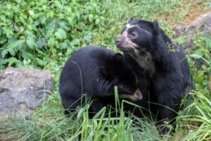 Spectacled Bears.