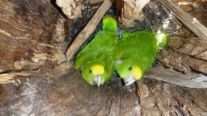 Yellow-headed Parrot chicks, seen from above.