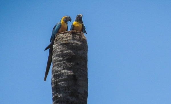 Pair of Blue-throated Macaws on nest