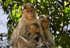 Bonnet macaques with young, Kerala, India. Wikimedia Commons. credit: Joseabie11