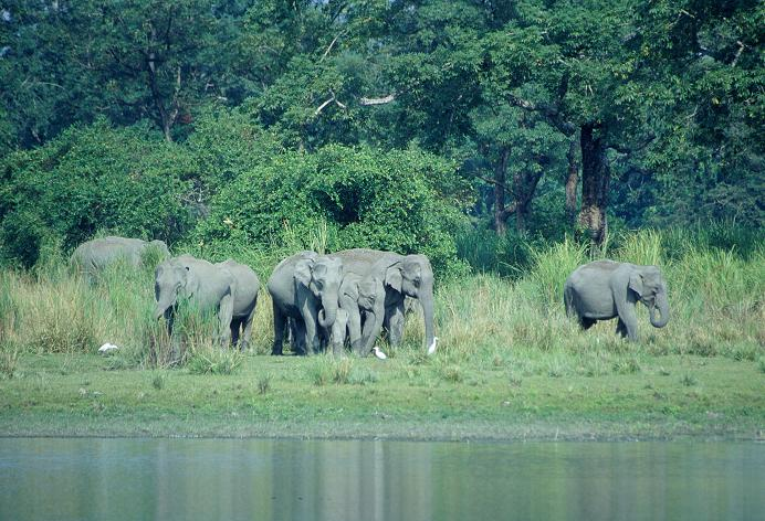 Elephant herd at the waterside, India. Credit WLT