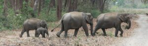 Wild Indian (Asian) elephants in the Corbett National Park in northern India. Marie Chambers