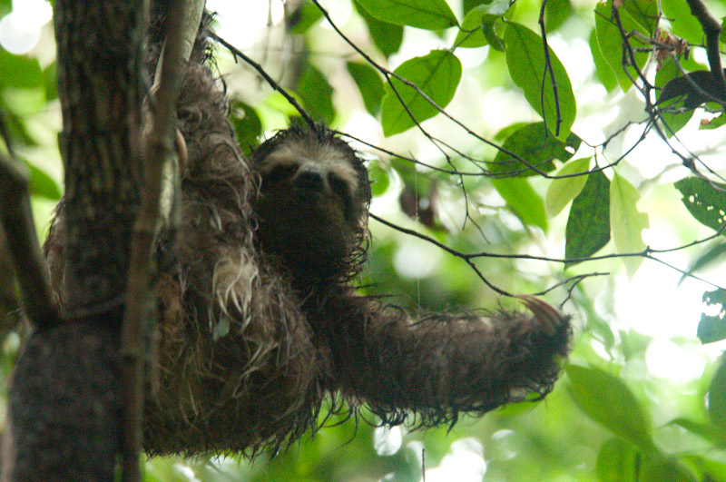 Brown-throated Three-toed Sloth with arm extended at REGUA. Credit Patricia Harvey